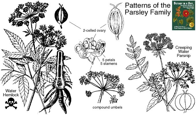 Apiaceae: Parsley or Carrot Family. Identify herbs, plants