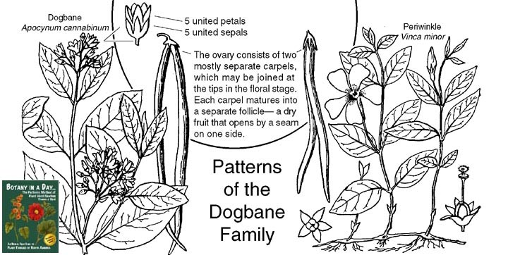 Anacardiaceae Diagram Of The Flower Floral Apocynaceae Dogbane Family Identify Plants Flowers