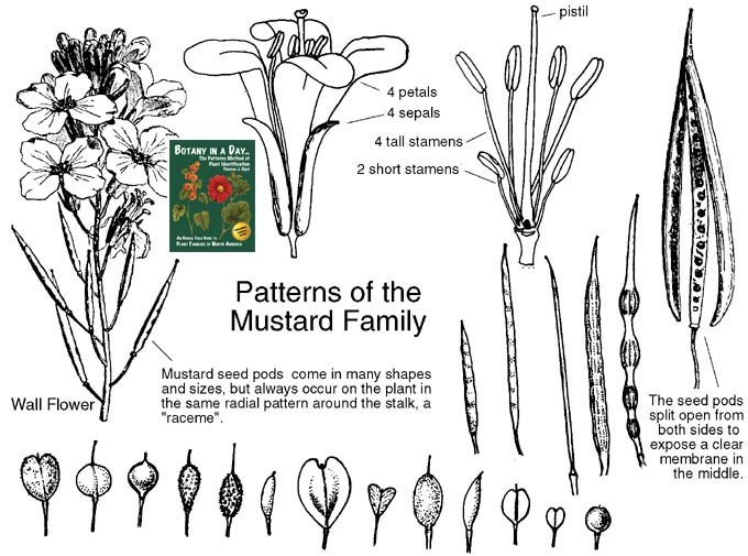 Brassicaceae: Mustard Family. Identify plants, weeds, and