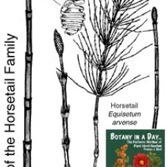 Horsetail Plant Diagram Humbucker Wiring 3 Way Switch Equisetaceae Family Identify Plants And Species Identification Characteristics