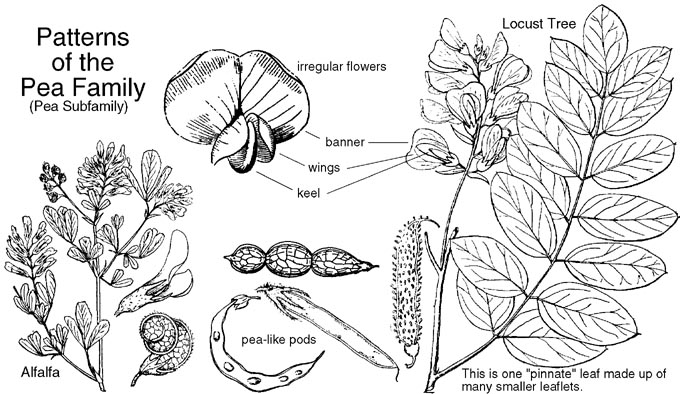 Anacardiaceae Diagram Of The Flower Floral Fabaceae Or Leguminosae Pea