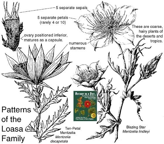 Loasaceae: Loasa Family. Identify plants, flowers, shrubs