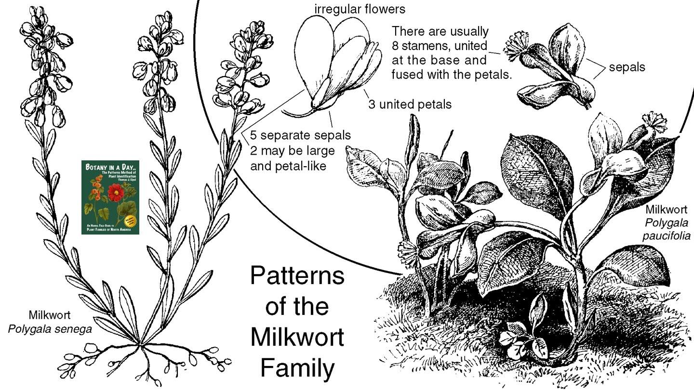 Polygalaceae: Milkwort Family. Identify plants, flowers