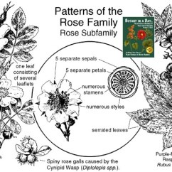 Diagram The Parts Of Cherry Blossom Tree 7 Pole Plug Wiring Rosaceae Rose Family Identify Plants Flowers Shrubs And Trees Plant Identification Characteristics