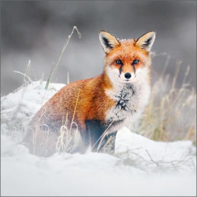 WT Red Fox Christmas Cards
