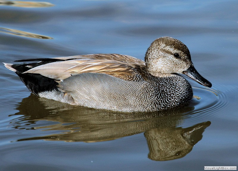 british ducks identify uk