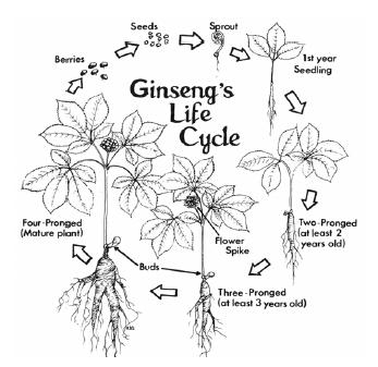 Harvest Stewardship of Wild Ginseng