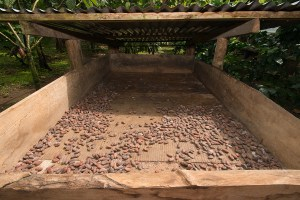 Drying cacao beans in the sun using a simple structure that slides in to protect the beans from rain.
