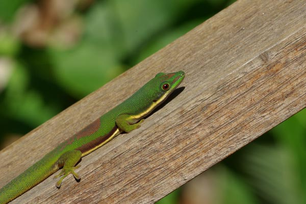 Wild Herps  Lined Day Gecko Phelsuma lineata