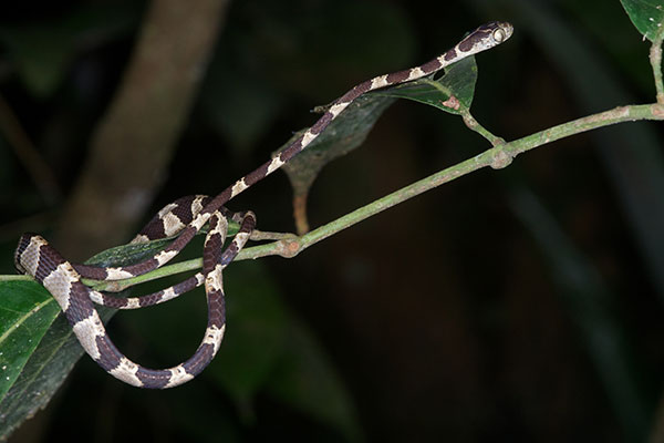 Wild Herps  Common Bluntheaded Tree Snake Imantodes