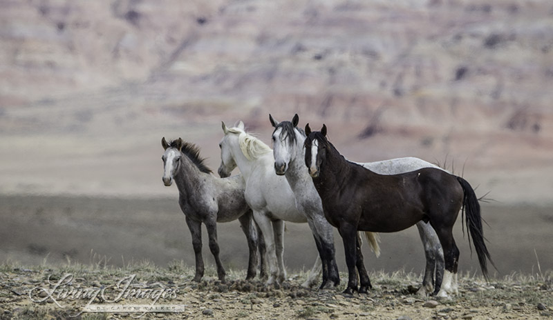 Small family of wild horses in Salt Wells Creek a week before being removed