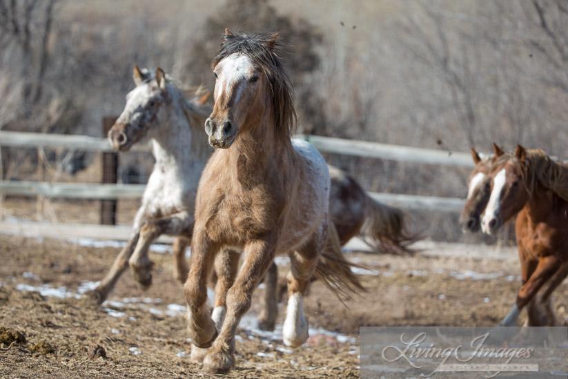 Bronze Warrior and his mares