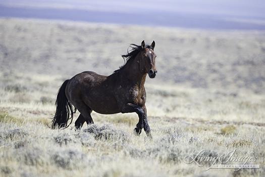 The bay stallion runs to the trailer