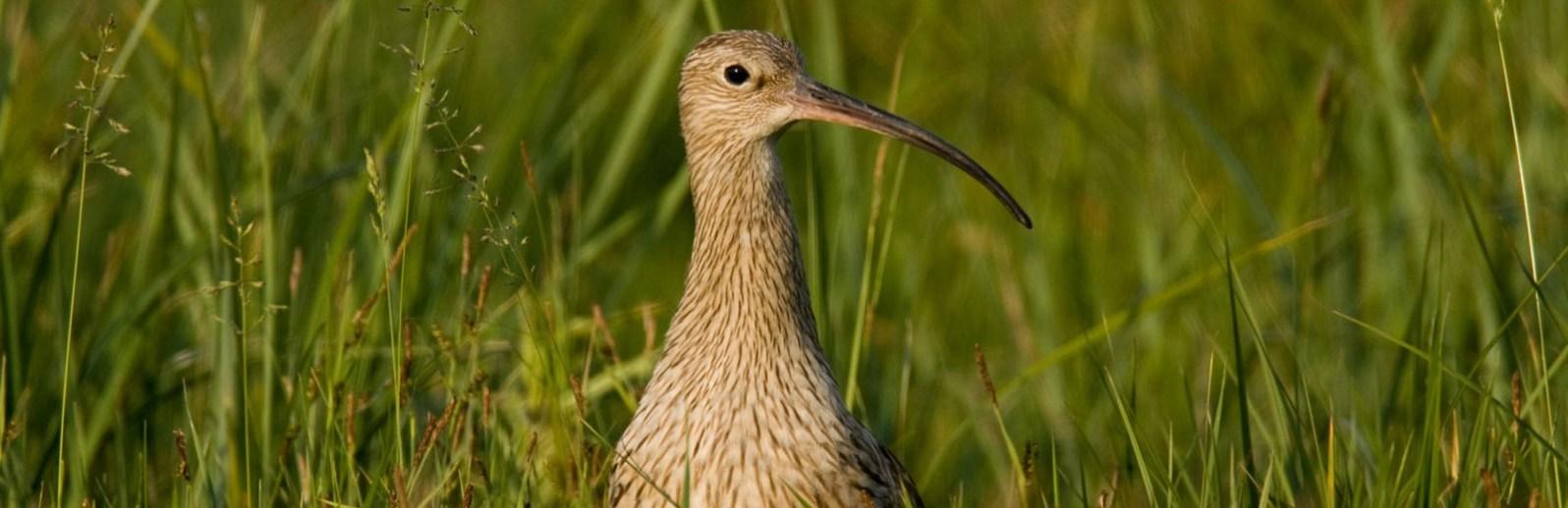 Großer Brachvogel © S. Ott