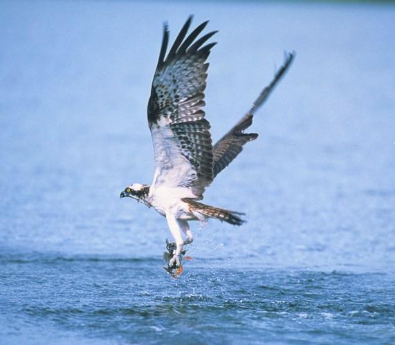 Fischadler © H. Glader
