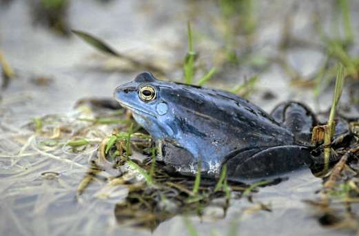 Moorfrosch©W-Gailberger/piclease