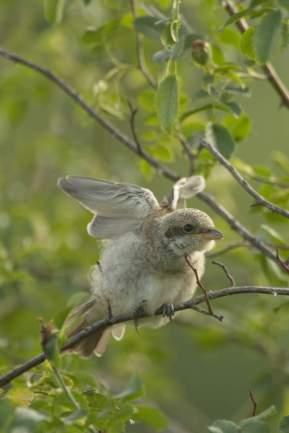Neuntöter Jungvogel, ©R. Kaminsky/Piclease