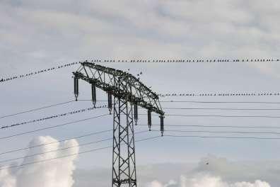 Stare sammeln sich auf Telegrafenleitungen©N-Hirneisen_piclease