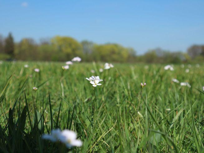 Blütenreiche Wiesen unterstützen nicht nur Kiebitze sondern auch viele Insekten