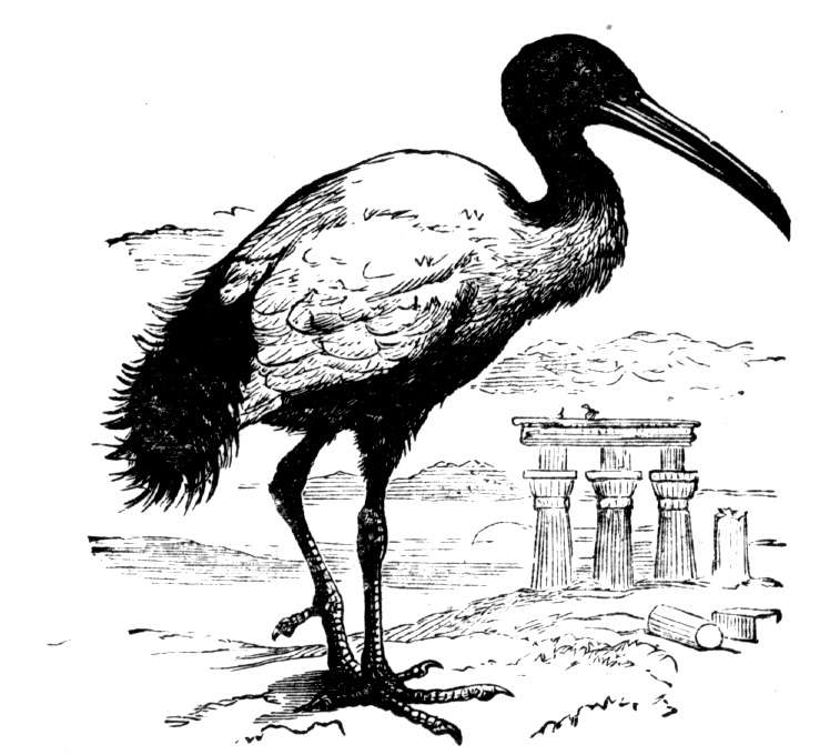 Free Heron Coloring Pages
