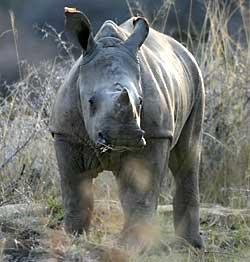 baby white rhino standing in long grass