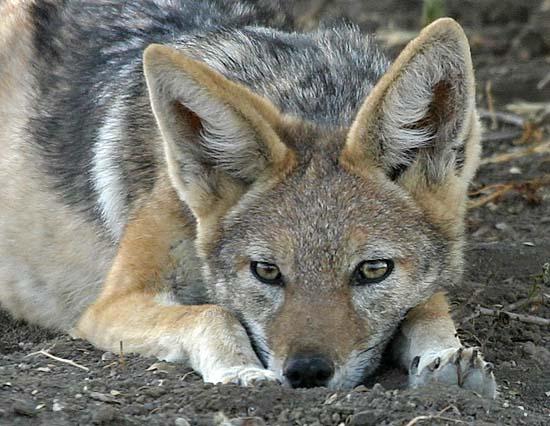 https://i0.wp.com/www.wildlife-pictures-online.com/image-files/jackal_tb-6346.jpg