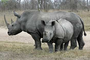 White rhino mother and youngster, Sabi Sand, South Africa