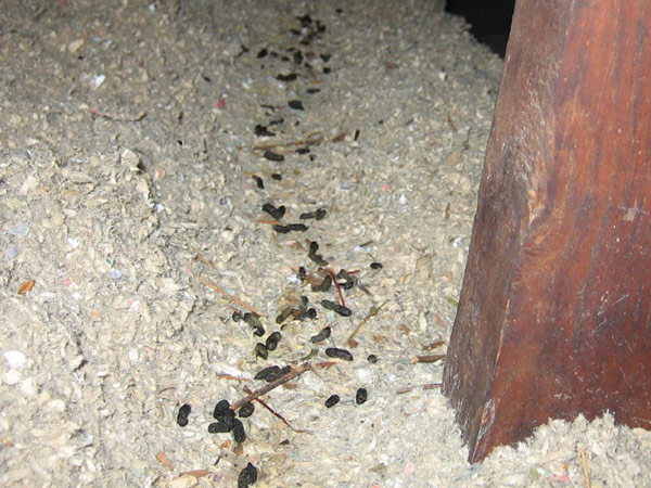 Photographs of Rat Poop - Images of Feces and Droppings