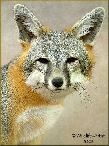 Michigan Gray Fox