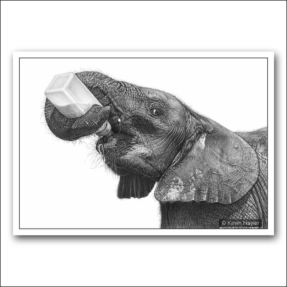 Baby elephant drinking from a bottle pencil drawing
