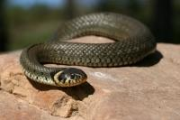 reptiles,grass,snake,grass,snake,on,rock