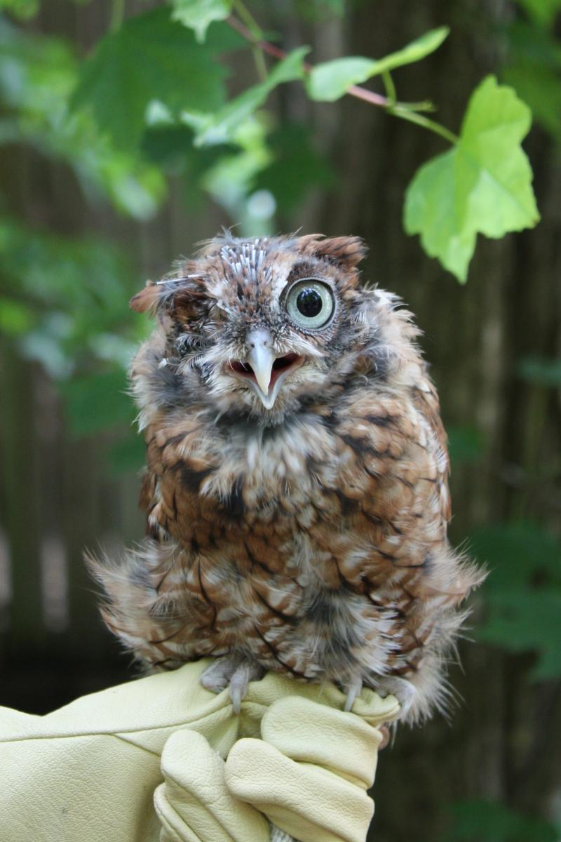 Fall Owl Wallpaper Buddy Training 2013 14 The Wildlife Center Of Virginia