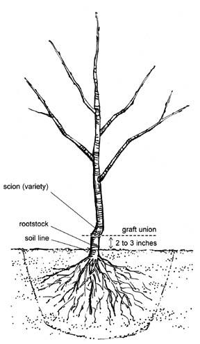 Growing Apple Trees for Deer Food Plots