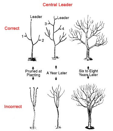 how to prune an apple tree diagram mitochondria and functions growing trees for deer food plots – the wildlife group
