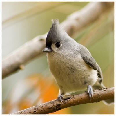 Birds (Songbirds)