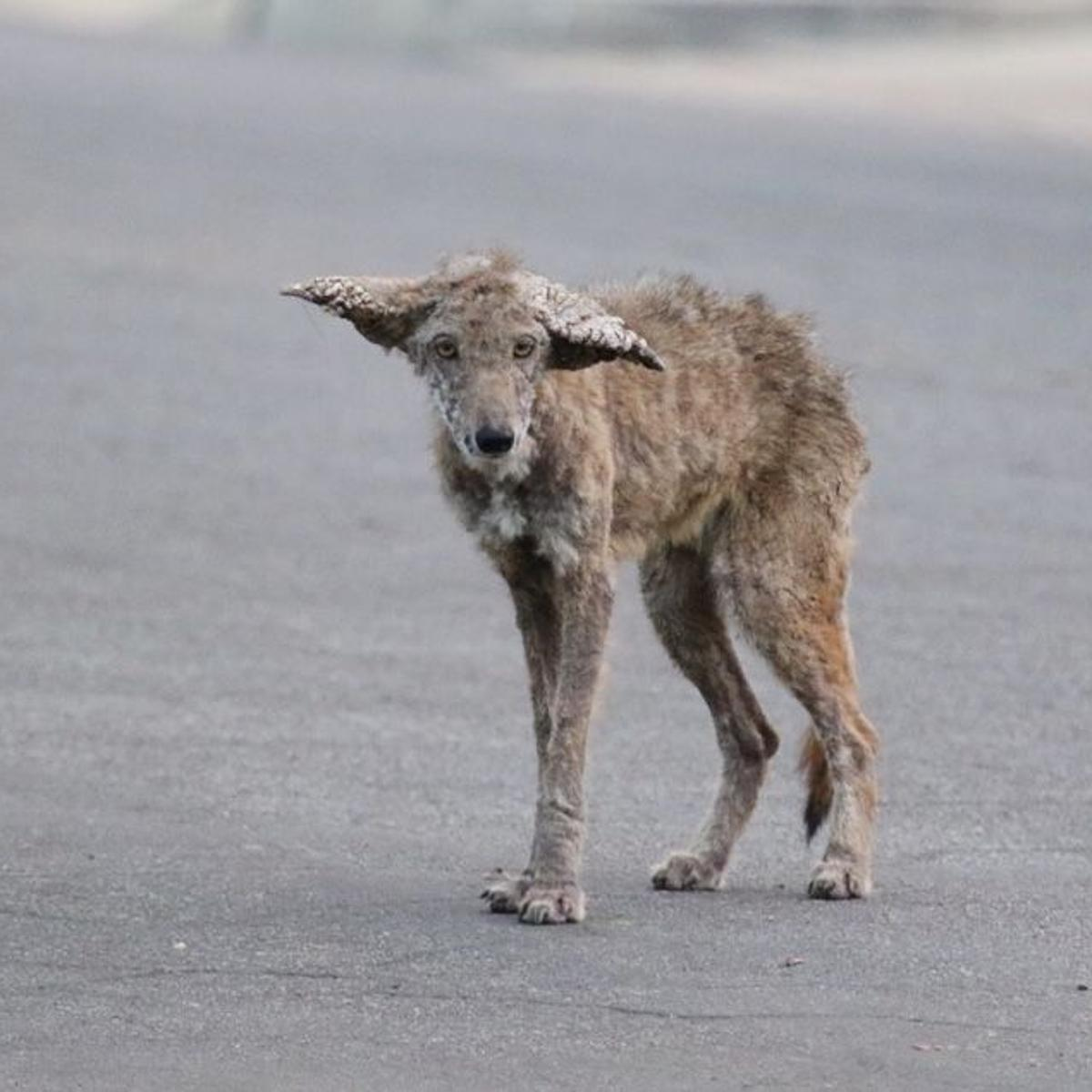Coyote with Severe Mange