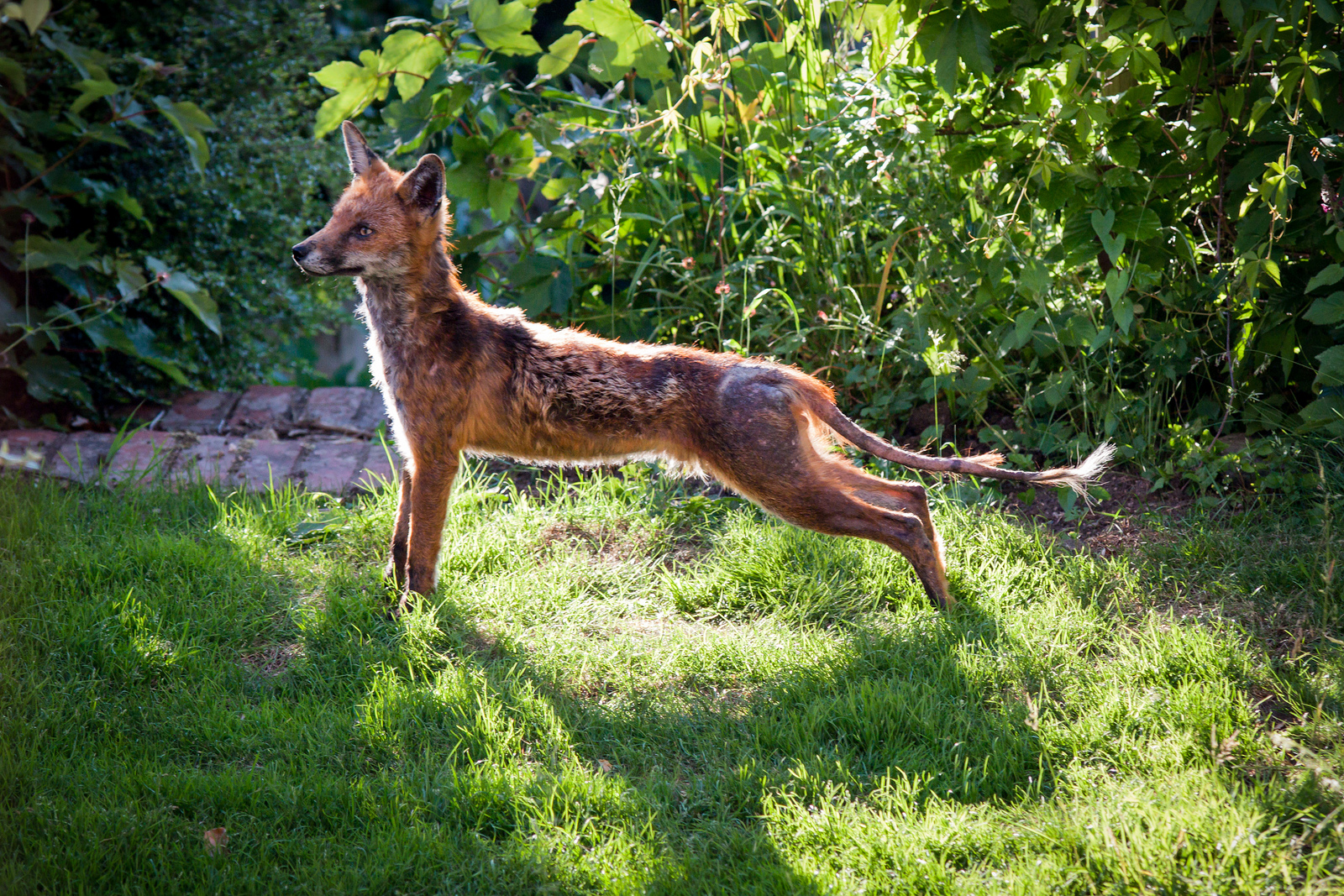Adult Red Fox with Mange
