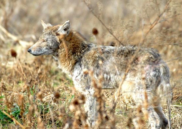 Adult Coyote with Early Mange