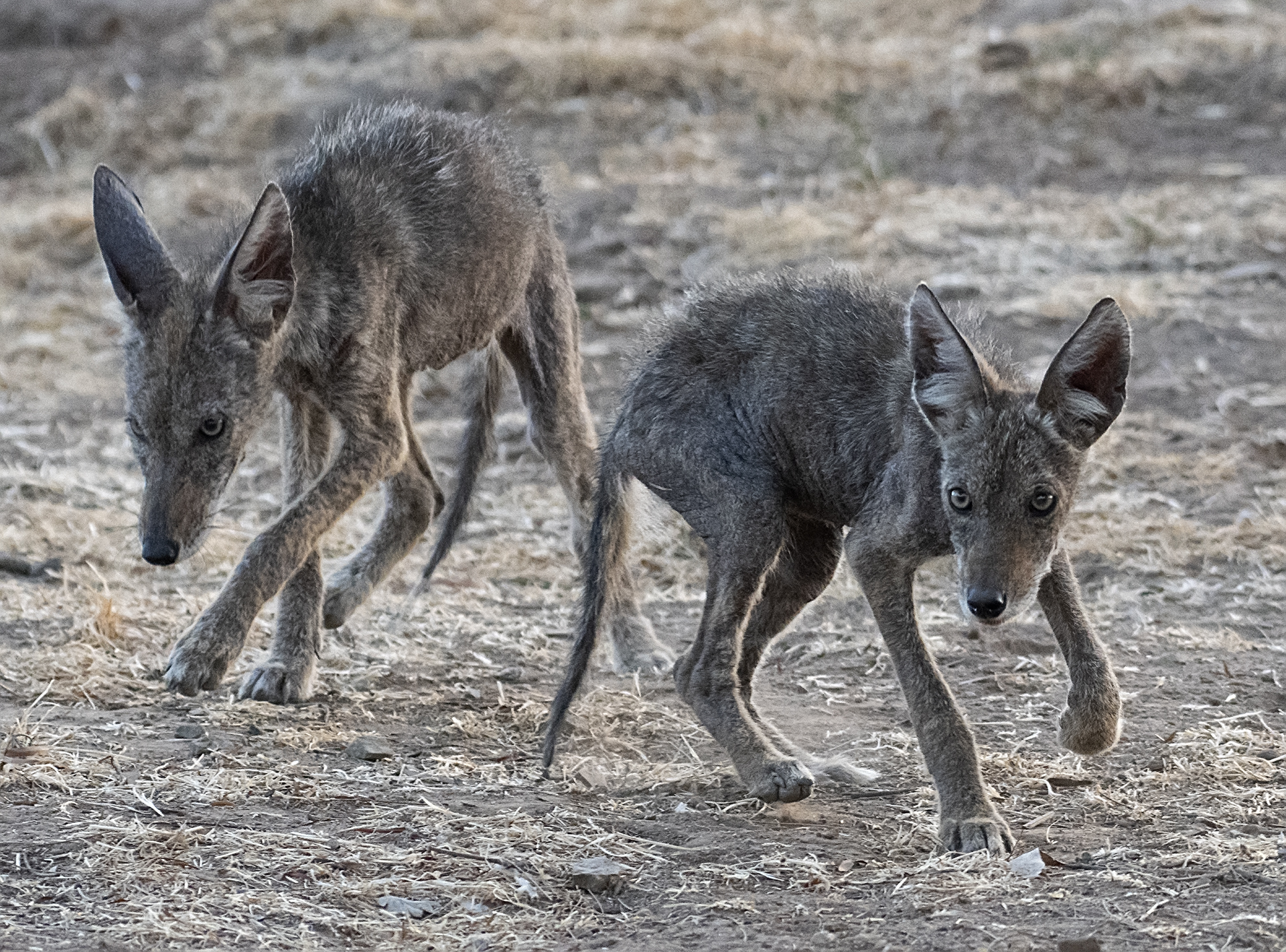 Young Coyotes with Mange