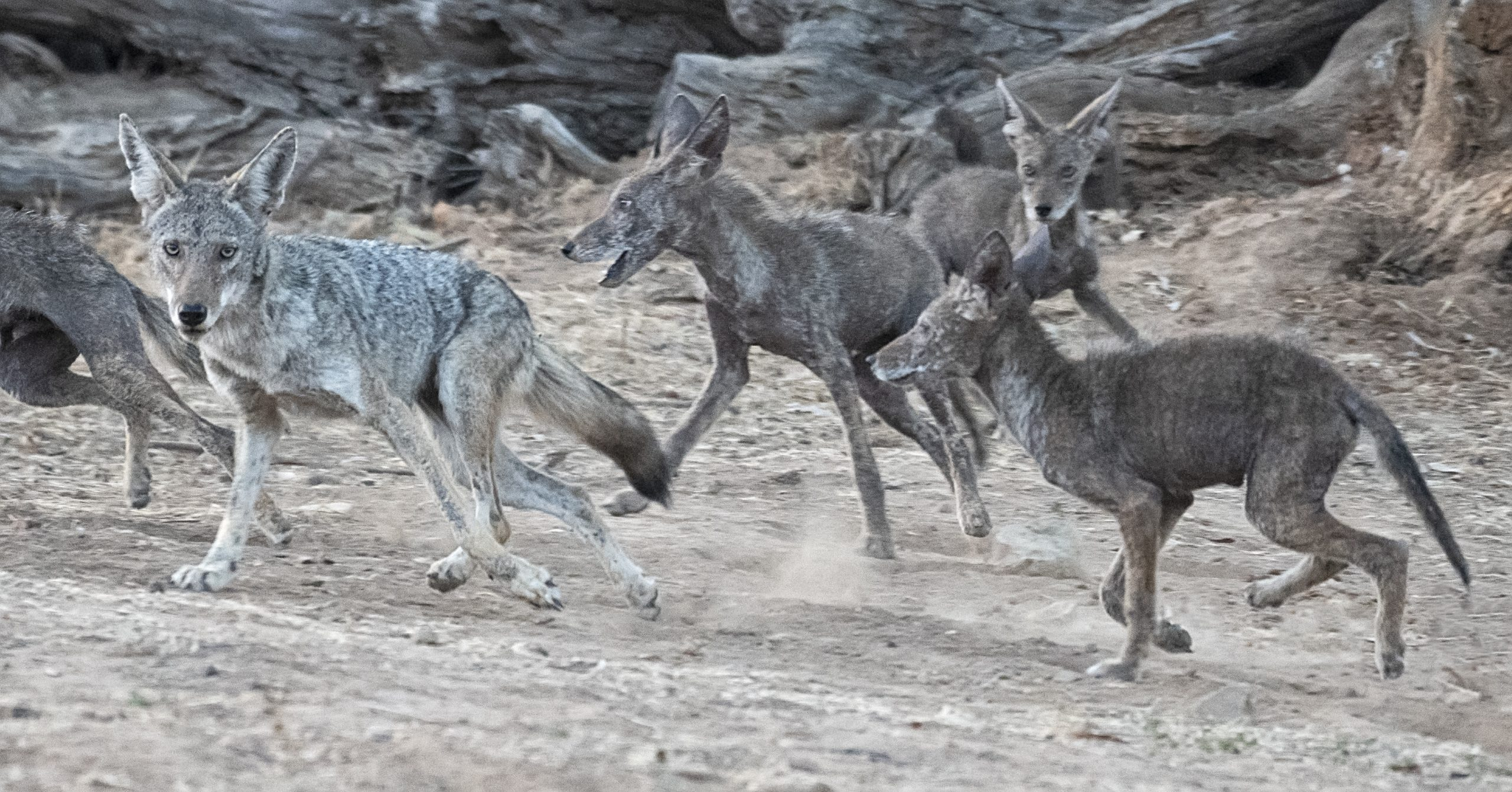 Pack of Coyotes with Varying Degrees of Mange