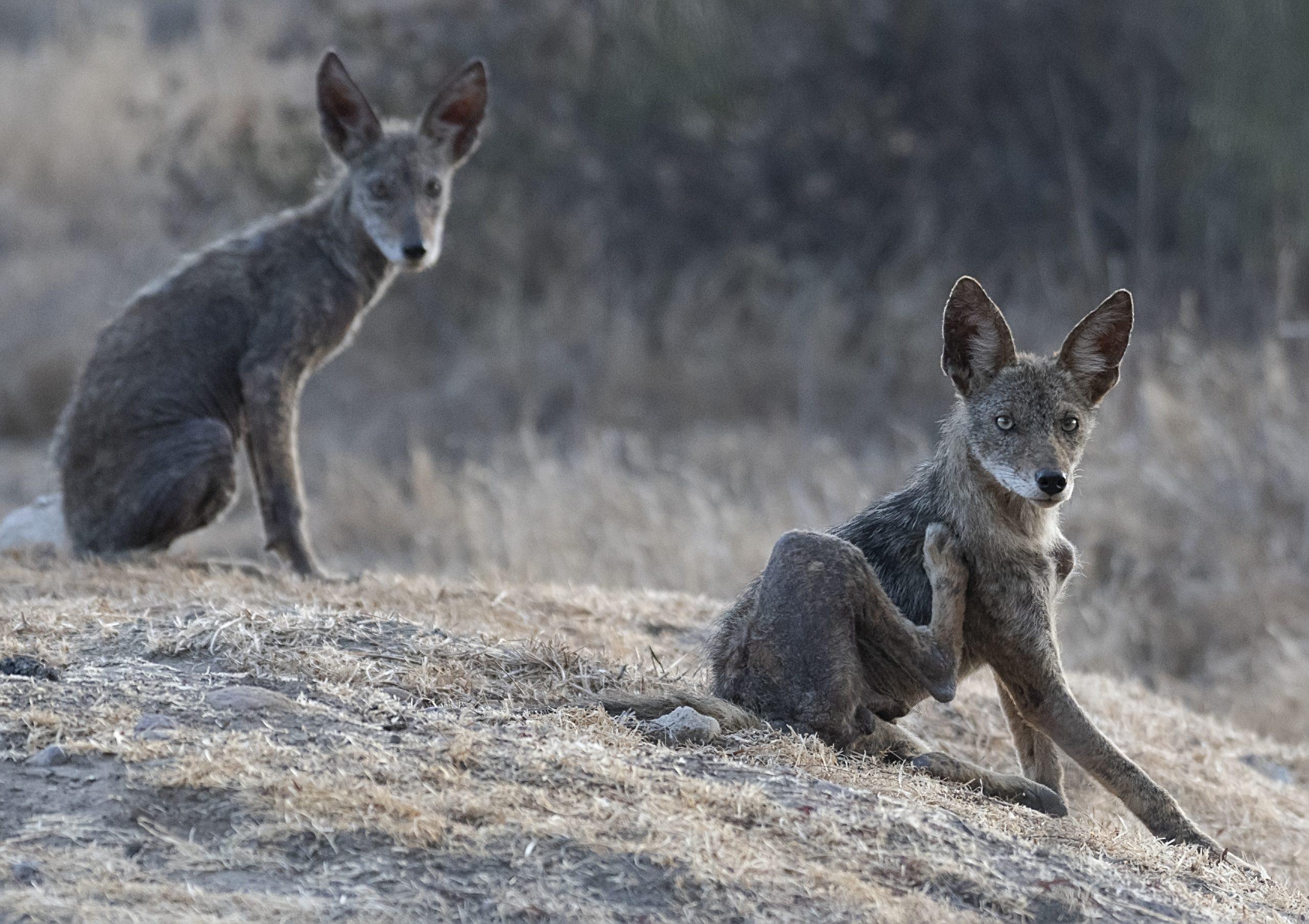 Subadult Coyotes with Mange