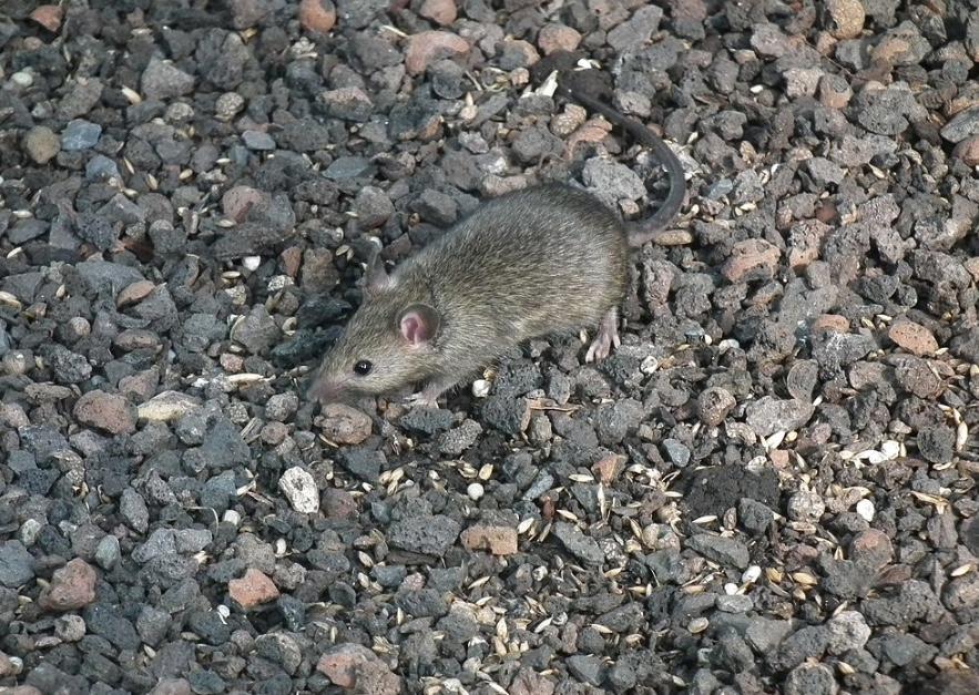 Rats and Mice – Wildlife Illinois