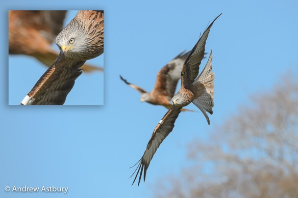 D4S6788 Edit Edit Autofocus Guide for Long Lens Bird in Flight Photography