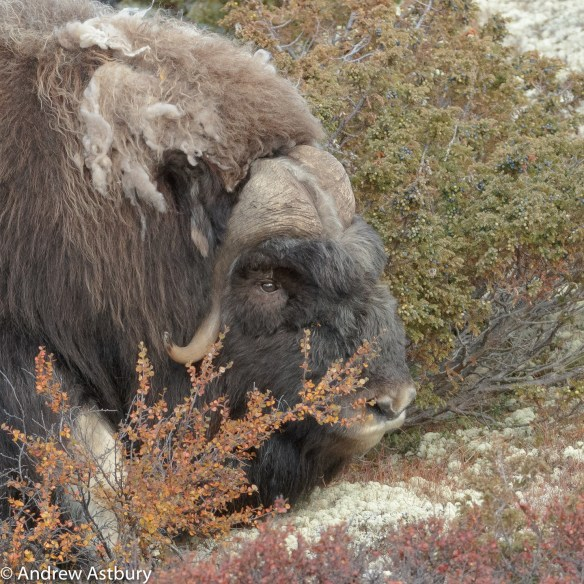 11I7238 900x900 Eagle & Musk Ox Trip Report