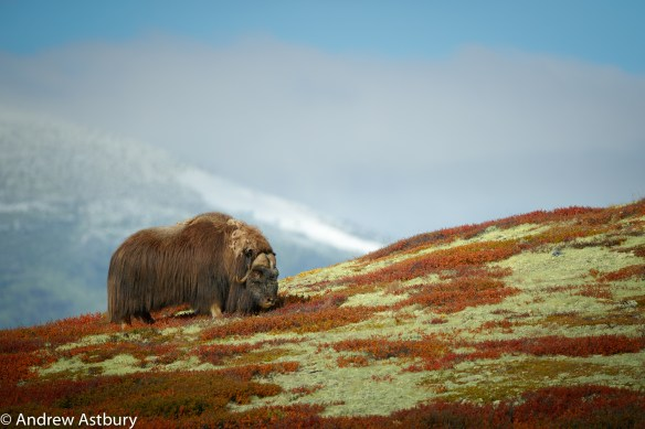 11I7674 900x600 Eagle & Musk Ox Trip Report
