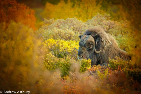 11I7963 900x600 Eagle & Musk Ox Trip Report