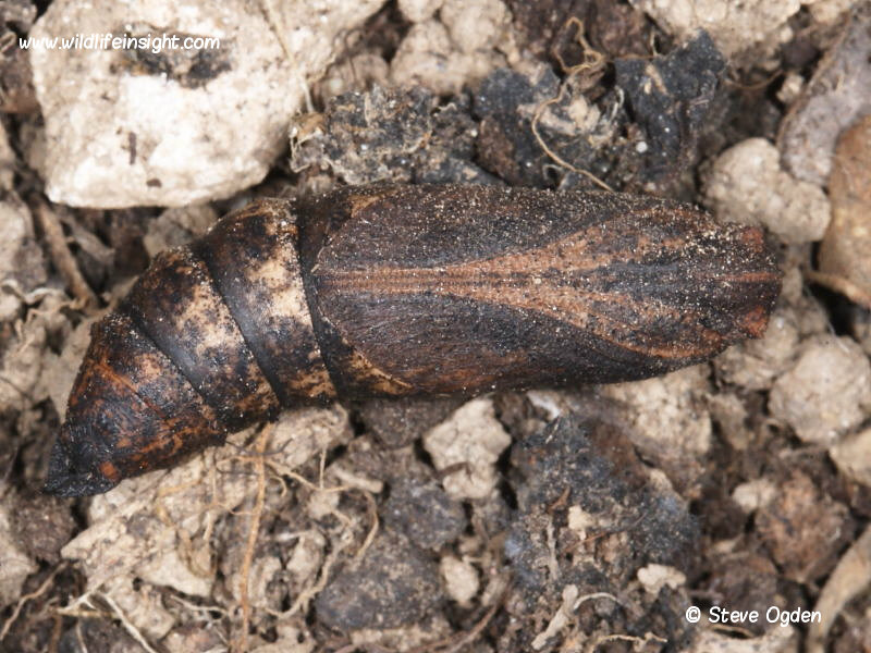 1991 Elephant Hawk-moth (Deilephila elpenor) pupa uncovered from soil © Steve Ogden