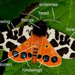 Butterfly Anatomy Diagram John Deere Stx38 Wiring Moth Wildlife Insight Illustrated By Garden Tiger Arctia Caja