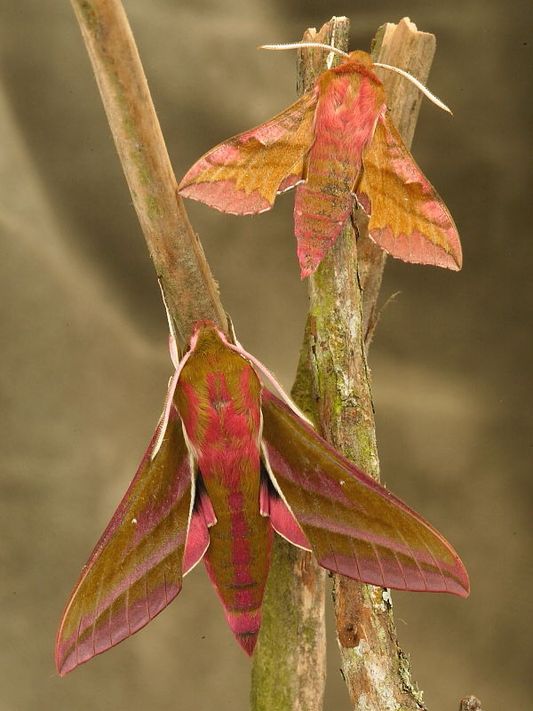 Identification of Elephant Hawk-moth (Deilephila elpenor) and Small Elephant Hawk-moth (Deilephila porcellus) seen side by side © Steve Ogden