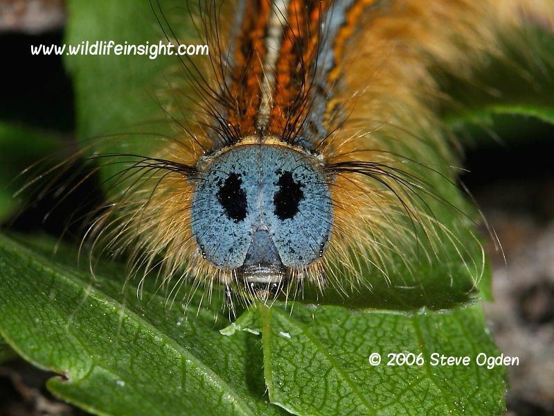 Lackey moth caterpillar web and moth Malacosoma neustria